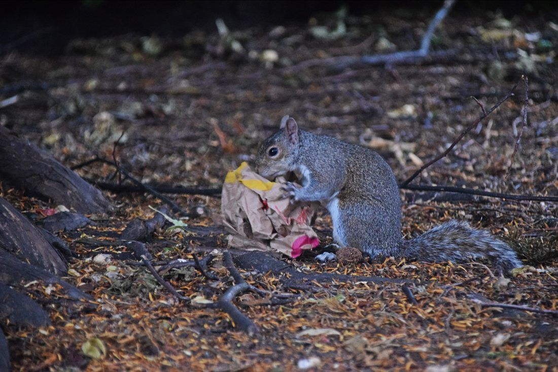 Probably one of the saddest things I've ever seen: a squirrel feverishly trying to get into a bag of McDonalds.